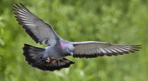 Pigeon flying through air.